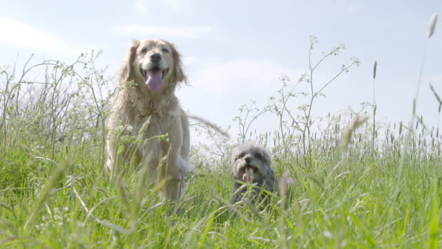 SLO MO Golden Retriever and Terrier standing side by side in long grass