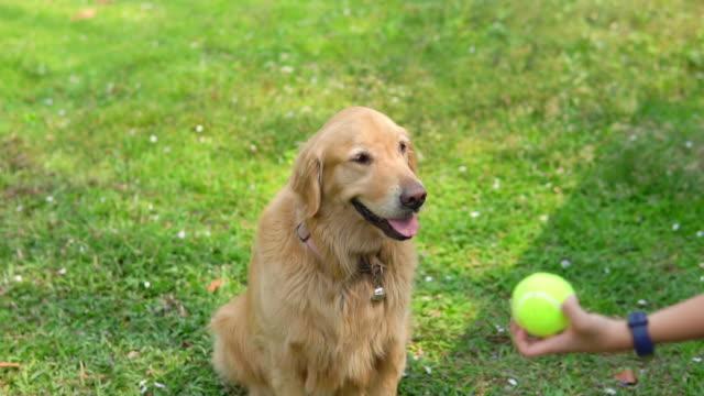 vídeos de stock e filmes b-roll de golden retriever chasing tennis ball on grass. - relvado terra cultivada