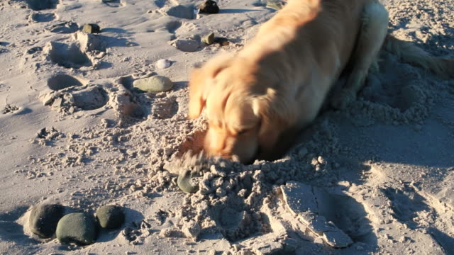 golden retriever digging on the beach - golden retriever stock videos and b-roll footage