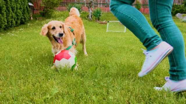 golden retriever dog and female owner playing with a ball outdoors - lawn stock videos & royalty-free footage
