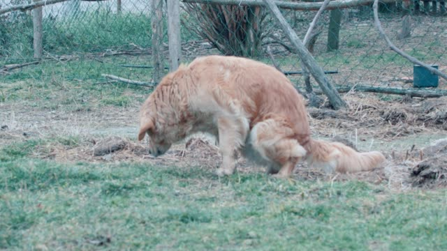 Golden Retriever Dog Excrement