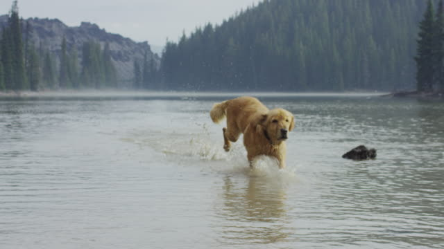 Golden Retriever dog fetching a stick in water
