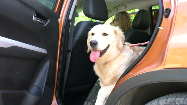 golden retriever dog in the the car - golden retriever stock videos and b-roll footage