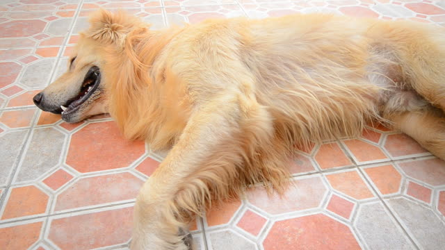 golden retriever dog lying down on the floor - exhaustion stock videos & royalty-free footage