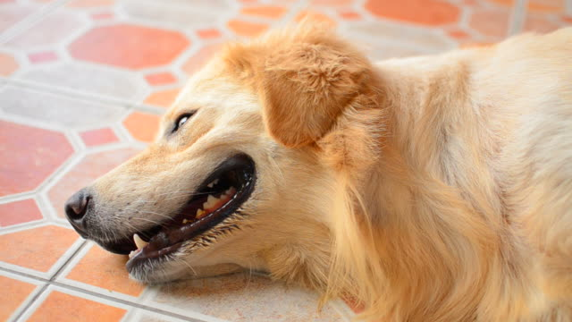 golden retriever dog lying down on the floor - full hd format stock videos & royalty-free footage