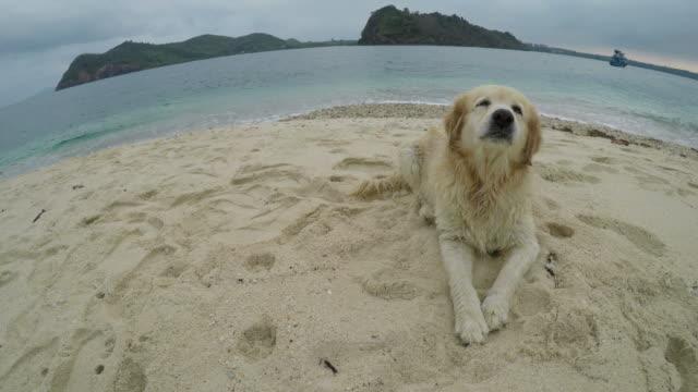 Perro Golden Retriever en la playa