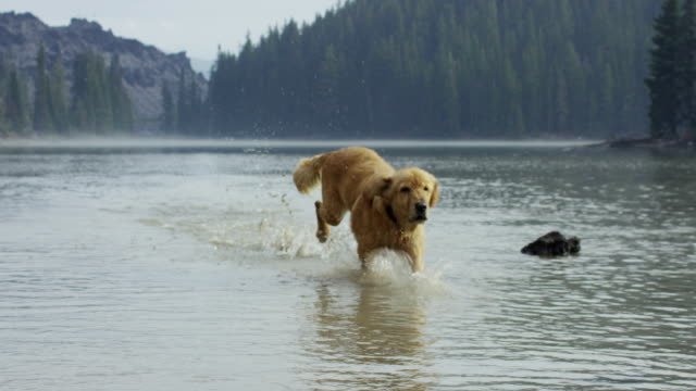 Golden Retriever dog playing in the water in slow motion