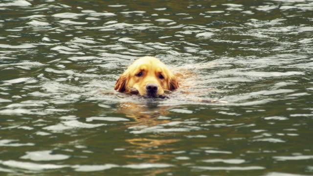 cu pan golden retriever dog retrieving stick from lake, manchester, vermont, usa - golden retriever stock videos and b-roll footage