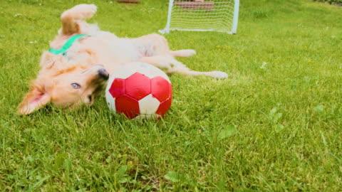 vidéos et rushes de chien golden retriever rouler dans l'herbe du jardin - ball