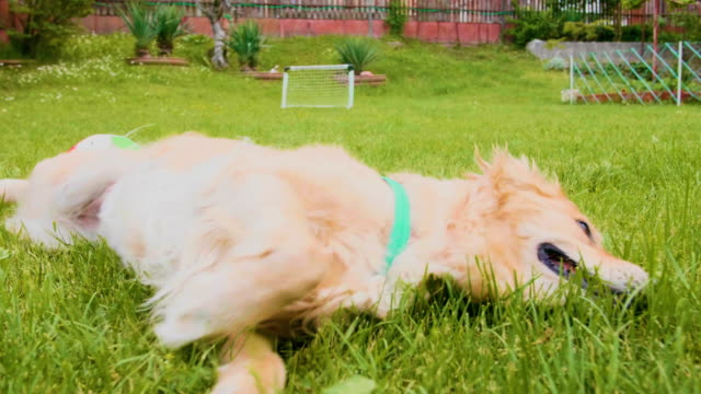 vídeos de stock e filmes b-roll de golden retriever dog rolling in the grass - rolar