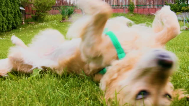 vídeos de stock e filmes b-roll de golden retriever dog rolling scratching in the grass slow motion - rolar