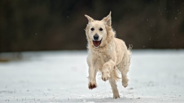 slo mo golden retriever dog running in snow - golden retriever stock videos and b-roll footage