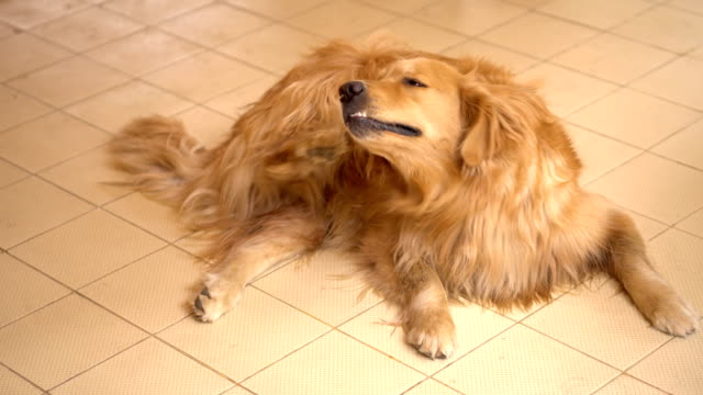 Golden Retriever Dog Scratching her itchy skin