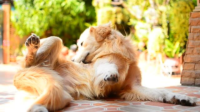 vídeos y material grabado en eventos de stock de perro labrador dorado scratching his la piel que pica - full hd format