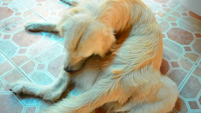 golden retriever dog scratching his itchy skin - flea insect stock videos and b-roll footage