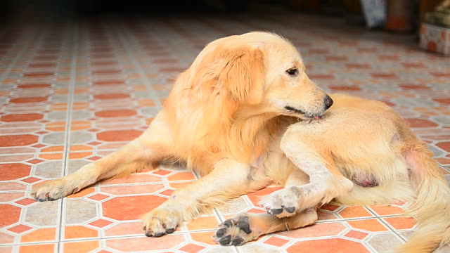 Golden Retriever Dog Scratching His Itchy Skin