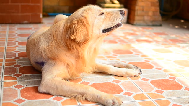 golden retriever dog scratching his itchy skin - dog tail stock videos and b-roll footage