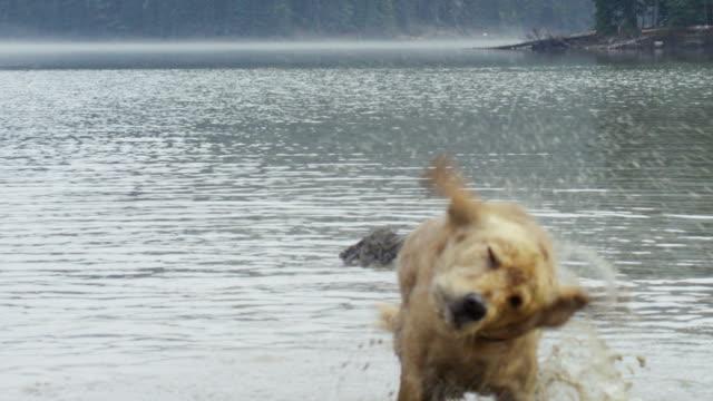golden retriever hund mit dem sich trocken - shaking stock-videos und b-roll-filmmaterial
