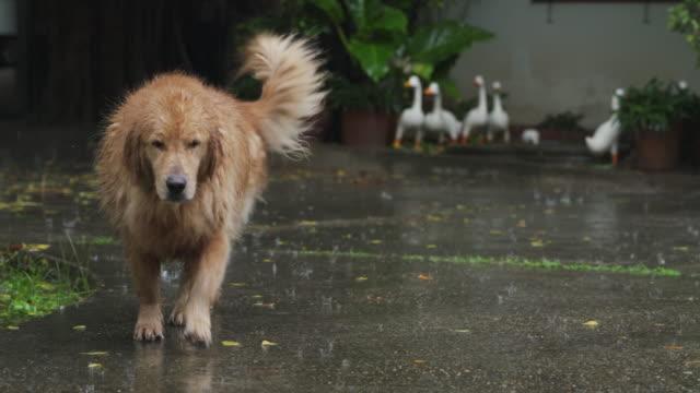 vidéos et rushes de 4k golden retriever chien marchant sous la pluie à la maison de la cour avant ou arrière - golden retriever
