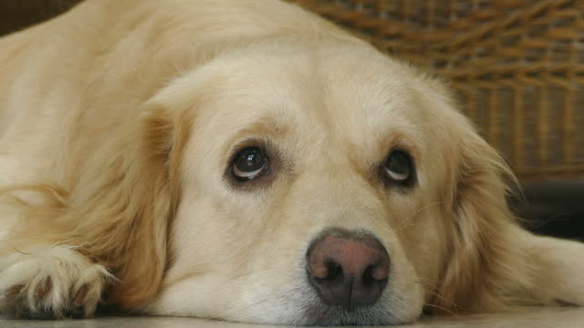 golden retriever dog with curious face - golden retriever stock videos and b-roll footage