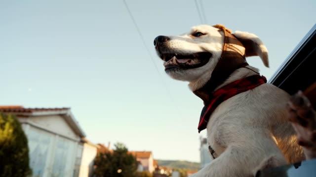 golden retriever enjoying car ride - plaid stock videos & royalty-free footage