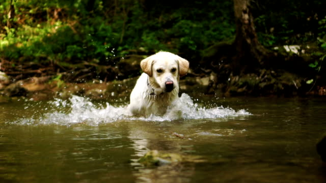 golden retriever in a river - retriever stock videos & royalty-free footage