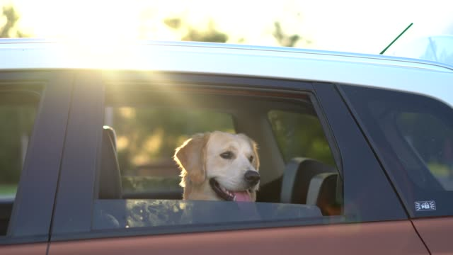 golden retriever looking out of car window - golden retriever stock videos and b-roll footage