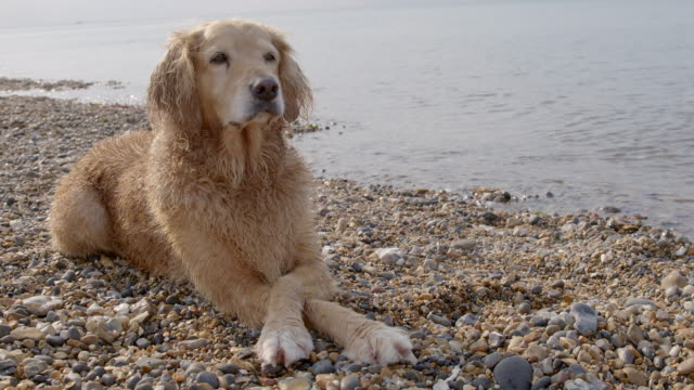 SLO MO Golden Retriever lying on beach crossing front paws