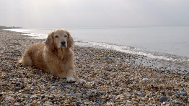 slo mo golden retriever lying on beach crossing front paws - golden retriever stock videos and b-roll footage