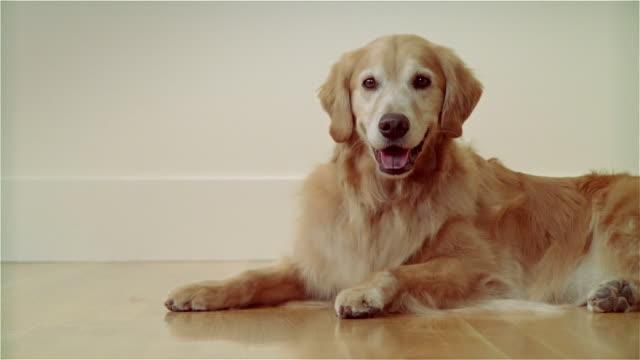 cu, golden retriever lying on floor - panting stock videos & royalty-free footage