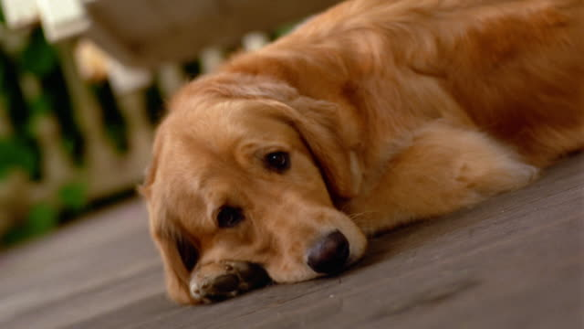 canted ms golden retriever lying on porch - golden retriever stock videos and b-roll footage