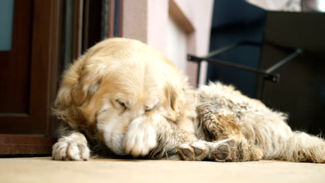 golden retriever napping on the floor - animal hair video stock e b–roll