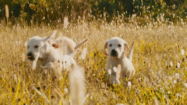 ms golden retriever puppies running in a grassy meadow at sunset. playing dogs. - three animals stock videos & royalty-free footage