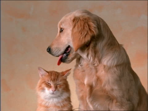 golden retriever puppy + orange tabby cat sitting together in studio - dog and cat stock videos and b-roll footage