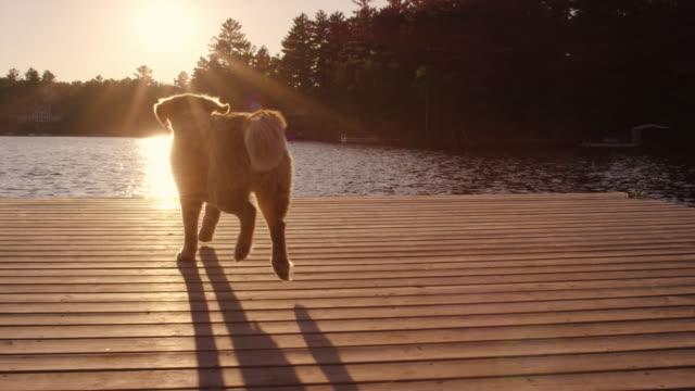 golden retriever laufen und springen aus boot dock ins wasser - gleichgewicht stock-videos und b-roll-filmmaterial