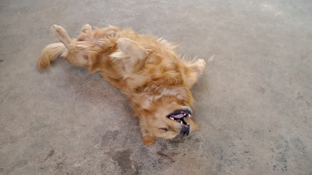 golden retriever scratching his itchy skin - lying on back stock videos & royalty-free footage