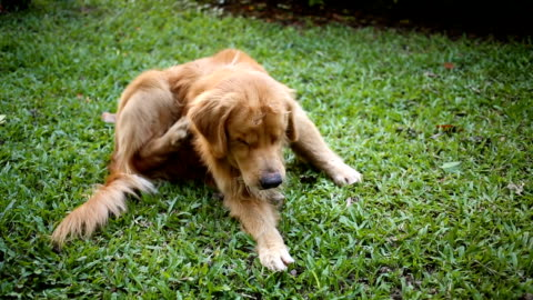 golden retriever scratching itchy skin on grass - unhygienic stock videos & royalty-free footage