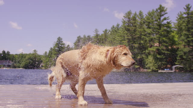 Golden retriever shaking itself off after getting out of lake