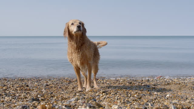SLO MO Golden retriever shaking off water on beach catching ball