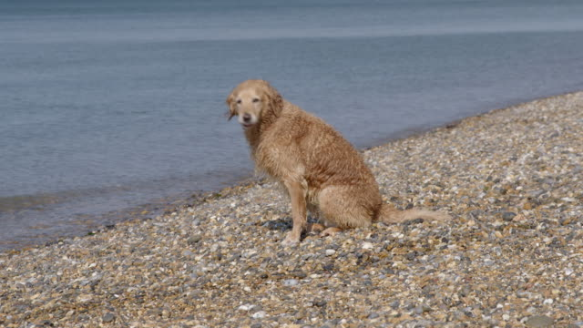 Golden retriever shaking off water on beach