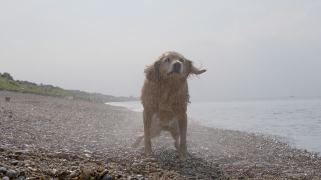 SLO MO Golden Retriever shaking off water on beach