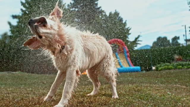 slo mo golden retriever shaking off water - prato rasato video stock e b–roll