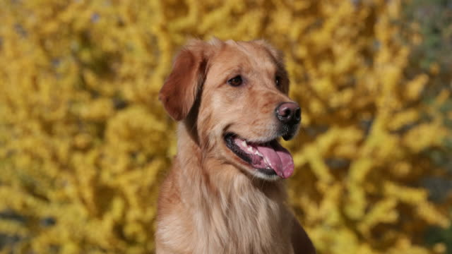 golden retriever sitting in front of fall tree closeup - retriever stock videos & royalty-free footage