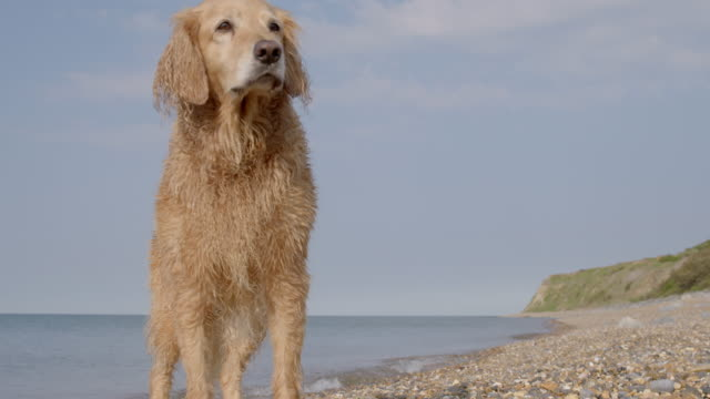 SLO MO Golden Retriever standing on beach