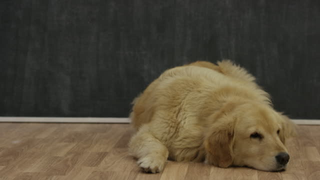 golden retriever waiting for adoption - flooring stock videos & royalty-free footage