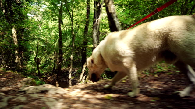 golden retriever walking in the forest - retriever stock videos & royalty-free footage