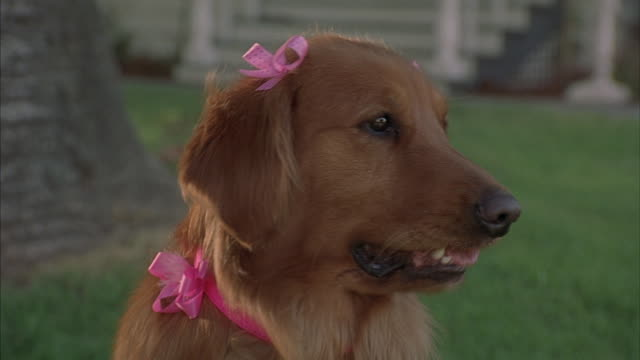 A golden retriever wears pink bows on her ears.