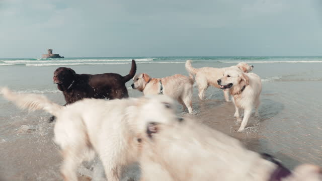 golden retrievers and black labrador playing in sea - gruppo medio di animali video stock e b–roll