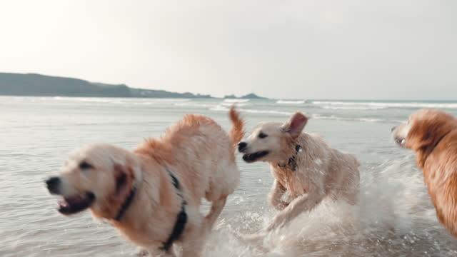 golden retrievers playing in sea - small group of animals stock videos & royalty-free footage
