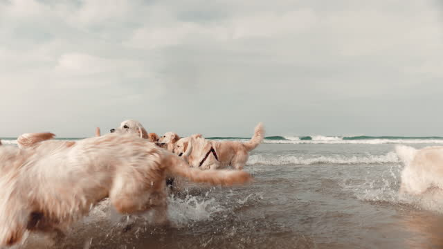 golden retrievers playing in sea - medium group of animals stock videos & royalty-free footage